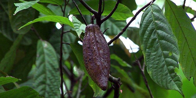 Indonesia - Sulawesi - Cocoa
