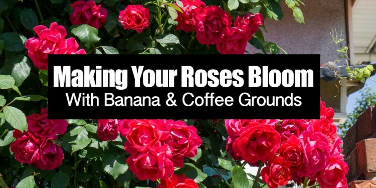 Making Your Roses Bloom With