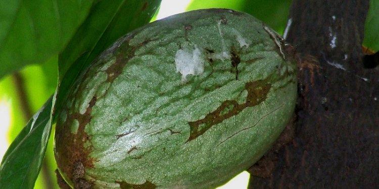 Cocoa fruit_Theobroma cacao_Sterculiaceae_2008 12 18_Rani Bagh