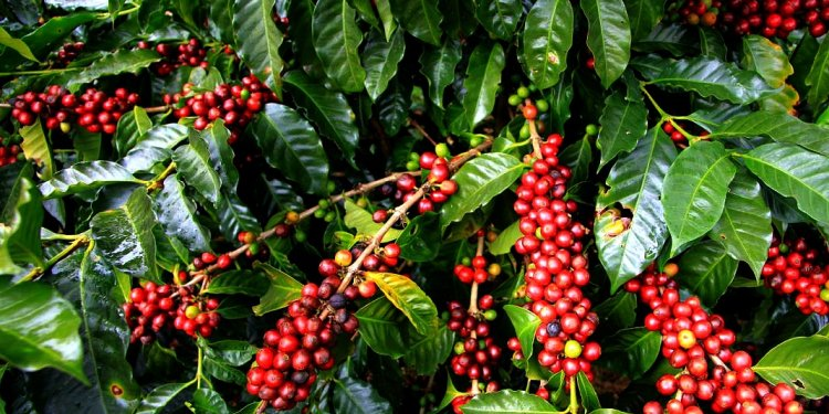 Information About coffee plant