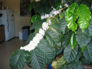 Jungle Jasmine : Coffee Flowers