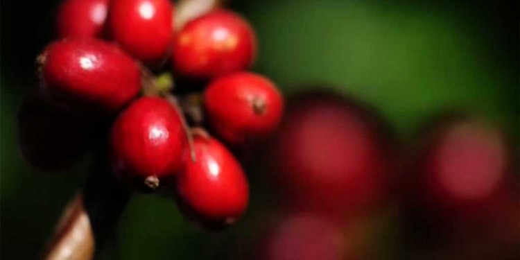 Coffee Beans, Fruit