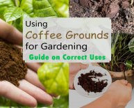 How to use coffee grounds in garden?